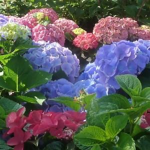 Plant- en verzorginstips voor Hortensia