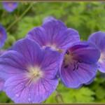 geranium_himalayense_mamma