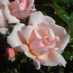rose-albertine
